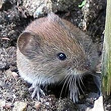 Tips to avoid exposure from bank vole rodents in Germany