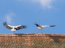 Messengers of Spring: Storks are back in Stuttgart region