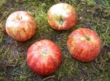 Red Gravensteiner apples found on-post at Robinson Barracks, U.S. Army Garrison Stuttgart. Photo by USAG Stuttgart DPW Environmental