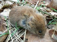 Bank vole (Photo: Ulrike Rosenfeld, FLI)