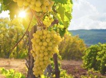 How to prepare for a day in the vineyards during harvest
