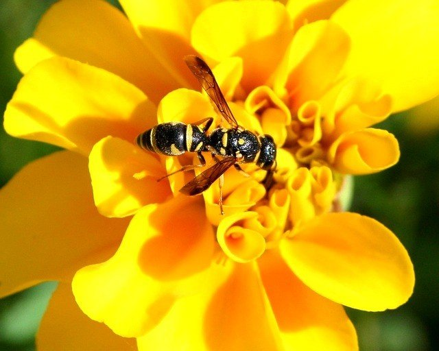Bees yellow-jacket-57308_640