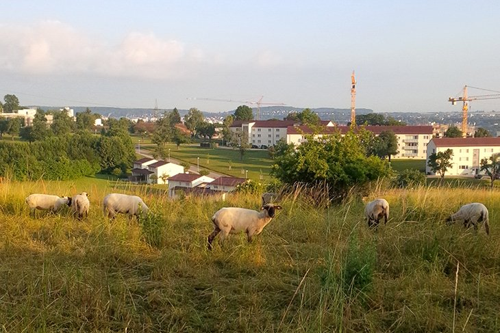 RB's bucolic pastures now home to sheep
