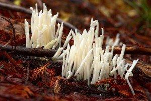 butter waxcap plant mushroom 1