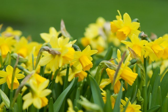 spring flowers daffodils shutterstock_53739823