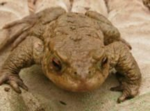 Volunteer to save the toads on 'Frog Road'