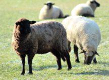 Sheep return to RB