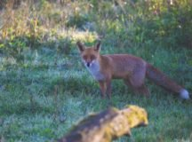 Fox sighting on Robinson Barracks: What to do