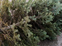 Christmas tree drop off dates and locations