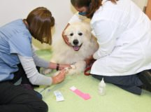 Nicole Hasper, D.V.M. Veterinary Medical Officer and Sueann Cochran, R.V.T., Animal Health Technician draw blood from a K-9 patient on Jun. 2, 2020, at the Stuttgart Veterinary Clinic, Stuttgart, Germany. (U.S. Army photo by Yvonne Najera)